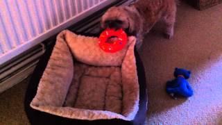 Macey Dog - the super Shih ztu howls again! Howls so loud my neighb...