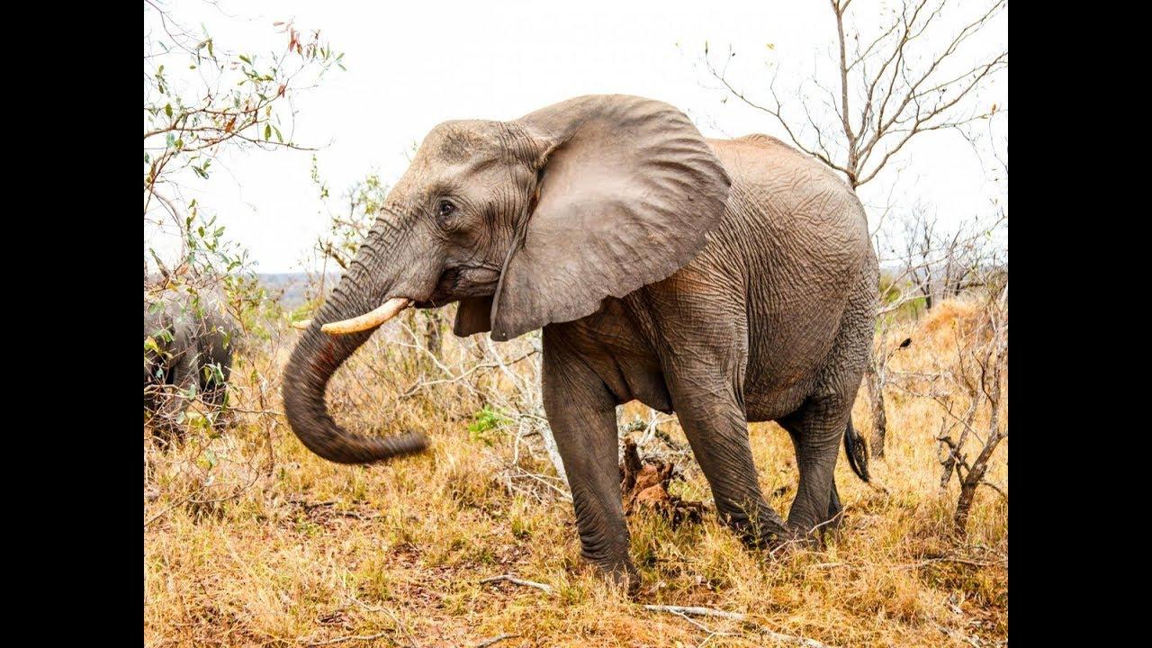 Лев против слона. Кто сильнее?