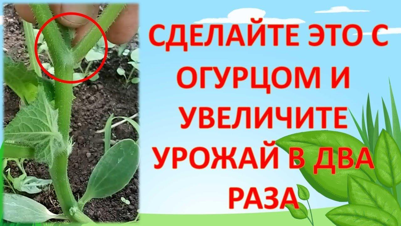 НЕ ПОДВЯЗЫВАЙТЕ ОГУРЦЫ ПОКА НЕ ПОСМОТРИТЕ ЭТО ВИДЕО!!! Как выращивать огурцы