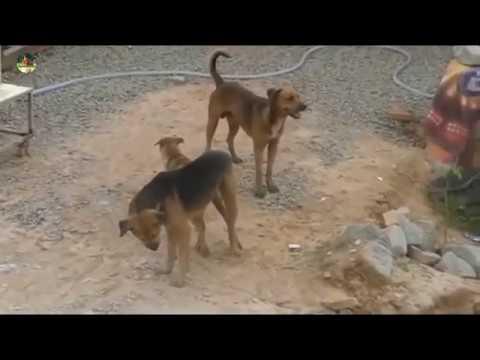 Making Dog | my village dog power | The smart team matting summer on road | Life dog