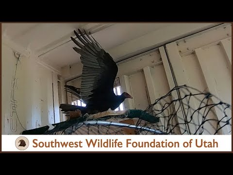 turkey-vulture-release:-threatening-and-hissing-after-8-months-rehabilitation