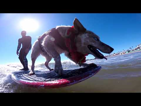 Skyler the surfing dog surfing in Santa Cruz at the river mouth at the boardwalk !