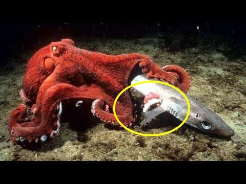Осьминог в деле! Версус - осьминог против Мурены, Осминог напал на Акулу! Охота на крабов.