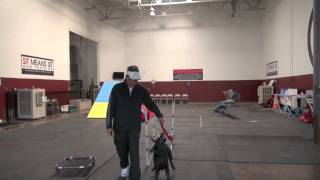 Training A Lab Retriever Puppy To Run Straight | Sit Means Sit