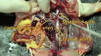 วิชาชีววิทยา - ระบบต่างๆของร่างกาย กายวิภาคกบ