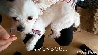 アキ♀(マルチーズ×チワワ) 2才5ヶ月、人間でいったら26才くらい、まだま...