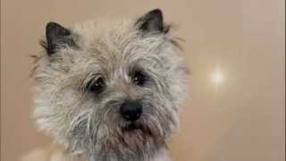 Cairn Terrier Pregnancy 38. Day
