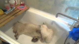 Невские Маскарадные кошки Казимир и Вивьен