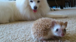 Dog meets Hedgehog Thumbnail