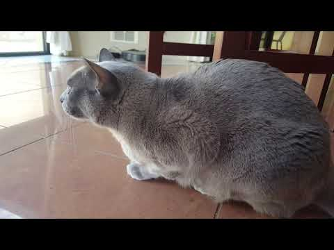 Burmese cat chattering- talking to birds