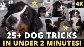 25+ Dog Tricks in Under 2 Minutes! Performed by Bernese Mountain Dog