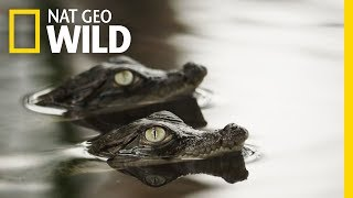 It's a Rough Life for Baby Crocs | Boss Croc