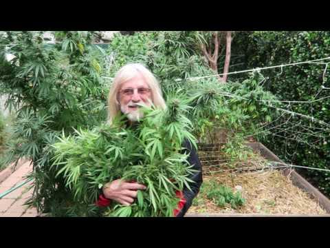Grow Marijuana: Harvesting Sour Diesel and Green Crack 4