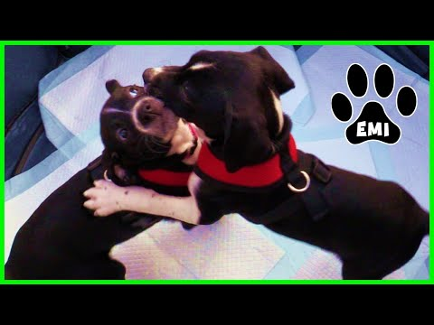 RESCUING EMI – Cute English Pointer Puppies Youtube Video – Emis World