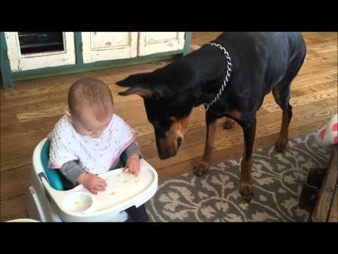 Baby Teases Doberman