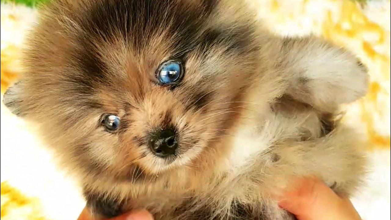 This Amazing Mini Blue Eyed Pomeranian