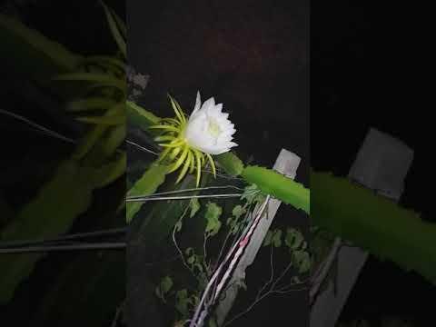 Espetacular florada das Pitayas 20/01/2020 Santana do Ipanema AL