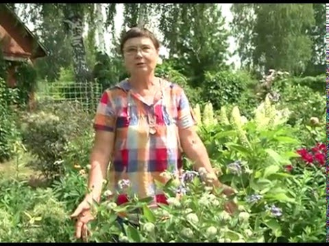 Клематис жгучий в саду -