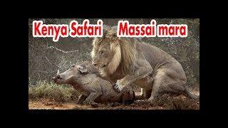 Travel Safari KENYA Maasai Mara lion - day 1