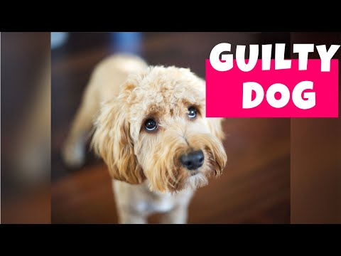 Guilty Dogs Compilation II (2020) | Who Did That?