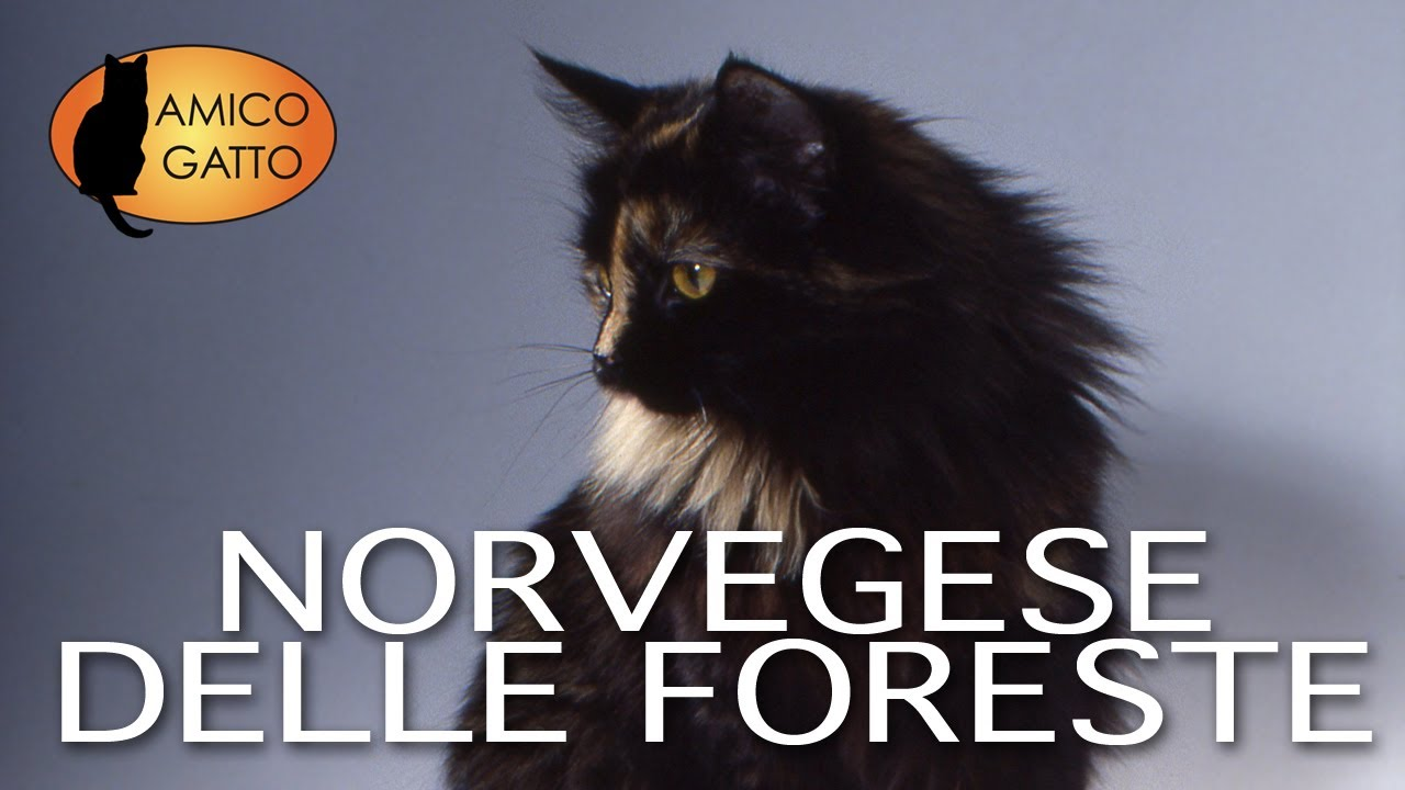 Norvegese Delle Foreste Trailer Documentario Razza Felina Youtube