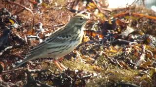 ヨーロッパビンズイ(1)稀な旅鳥(舳倉島) - Tree Pipit - Wild Bird - 野鳥 動画図鑑