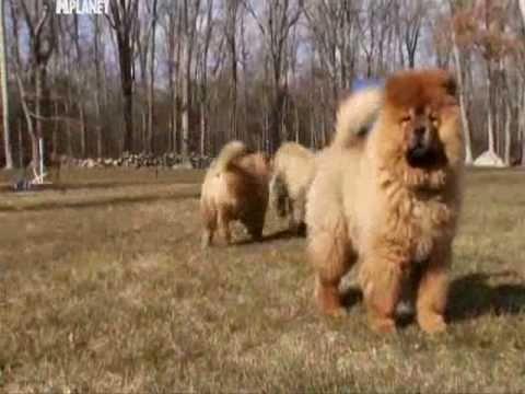 Dogs 101  Чау-Чау (Сhow-Chow)