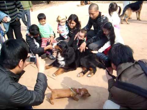 Phu Quoc Dog show