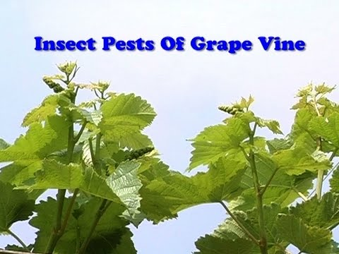 Insect Pests of Grape Vine