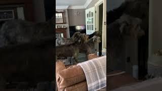 Mum's home! | Wolvebrigg Irish Wolfhounds