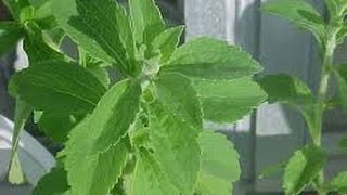 How to Plant Your Stevia Sweetener? | How to Dry Your Organic Stevia Leaves?