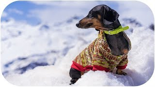 DOG climb Mount Elbrus! Cute dachshund on travel! thumbnail