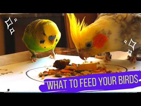 What To Feed Your Bird - Budgies, Cockatiels, Parakeets