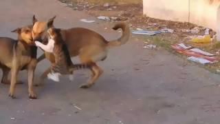 Кот против двух собак. Поединок....