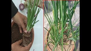 How to Grow Onions | How To Grow Spring Onion from wastage  of Onions  At HOME in 5 minutes