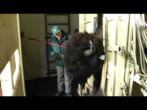 Tagging Wood Bison