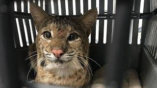 Our New Rehab Bobcat Saved By A Farmer thumbnail