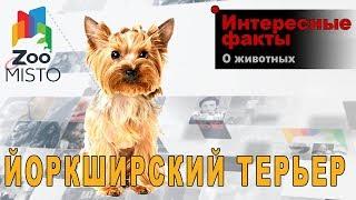 Йоркширский терьер - Интересные факты о породе  | Собака породы  йоркширский терьер