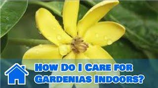 Indoor Gardening Tips : How Do I Care for Gardenias Indoors?