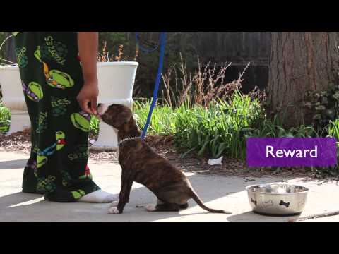 Puppy Training Basics: Teaching Pit Bull To Stay With Voice Command