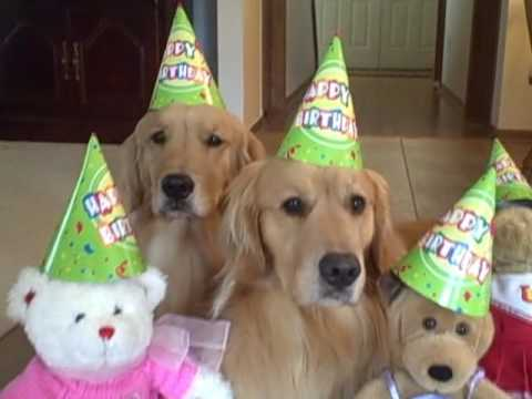 Golden Retriever Dogs Celebrate Daisy S Birthday Youtube