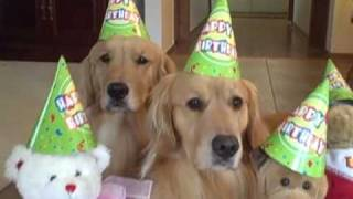 Golden Retriever Dogs Celebrate Daisy's Birthday