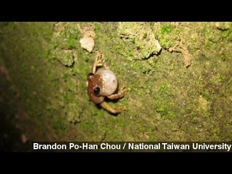 Tree Frogs In Taiwan Use Drains As Mating Call Megaphones
