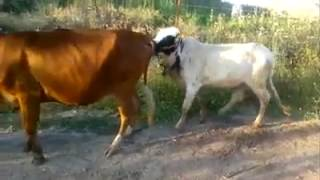 Pakistan Funny Clip - Desi Funy cow video  hahaha