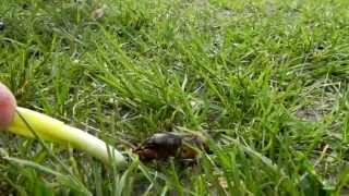 Turkuć podjadek