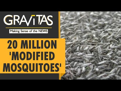 Gravitas: Genetically modified mosquitoes arrive in Florida