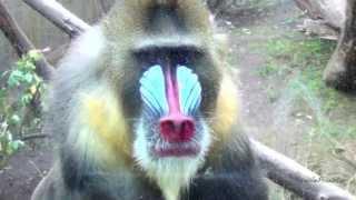 Цветные обезьяны - Мандрилы