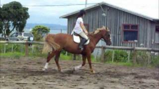 "For sale! Chestnut mare ""Tosca."""