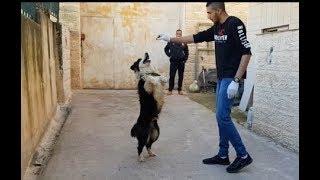 اذكى كلب بالعالم تم تصنيفه من خبراء الكلاب بالعالم-البوردر كولي-مع جمال العمواسي