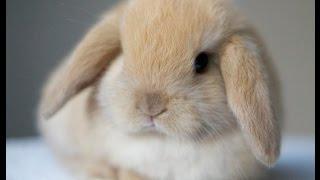 Декоративный кролик! (Ангорский!)